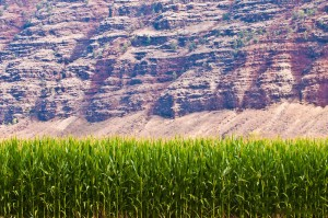 Corn Field in Hawaii