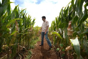 Hawaii Corn Limitations