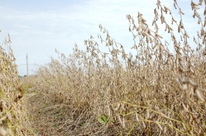Soybeans Drying