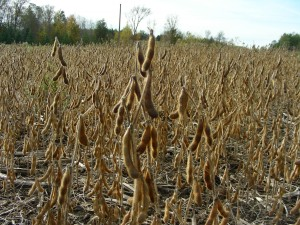 Soybean Yields Good Despite Weather Challenges