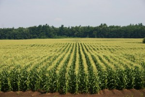 Missouri Corn and Soybean Production up in 2013
