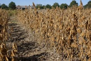 Soybean Germplasm Line