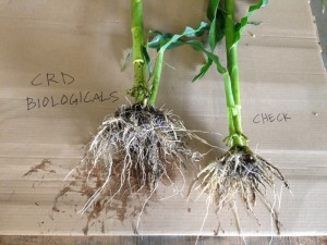 Corn Treated with CRD Biologicals, June 2014