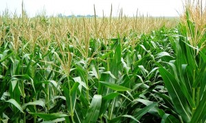 Corn Crop Best in Years