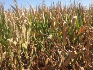 Dry July Could Have Capped Yield Estimates