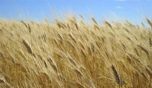 Wheat Numbers Look Good
