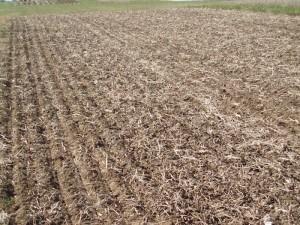 Lower Corn Harvest