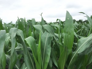 Nitrogen Timing Critical in Wet Years