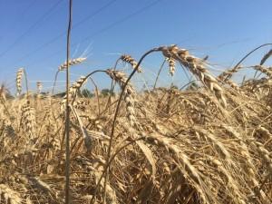 Diseased Wheat