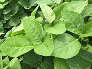 Sweetener Applications Optimize Plant Health