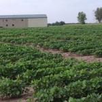 Bay Farms Missouri Soybean Research Plot Update