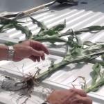Dean Alexander High Yield Corn Crop
