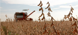 Drought Stricken Soybeans