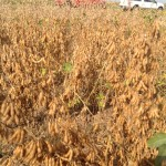 HighYield Soybean Plot Ready for Harvest 2