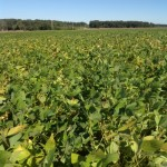 Soybean Crop September 29