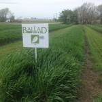 Wheat Test Plot Strips