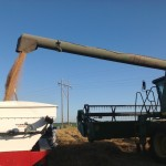 Wheat Transfer From Combine to Weigh Wagon
