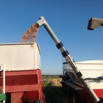 Wheat Transfer From Weigh Wagon 2