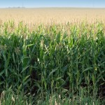 Cellulosic Ethanol on Cusp of Production