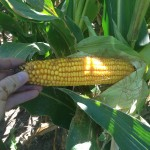Corn at Denting Stage