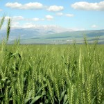 Expect Big Wheat Crop