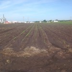 Soybean Crop Coming Up 1