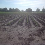 Soybean Crop Coming Up 2