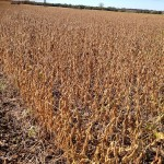 Soybeans Ready to Harvest