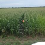Large Scale Infurrow Testing on Corn 2