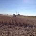 Soybeans at Harvest Time 1