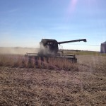 Soybeans at Harvest Time 2