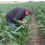 Corn Inspection 1