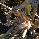 Corn Test Plot 1