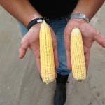 Early Corn with Product Compared to Check