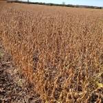 Soybean Production Plot 1