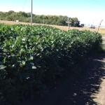 Soybean Test Plot 1