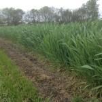 Wheat Test Plot 1