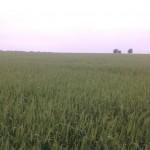 Wheat Test Plot 2