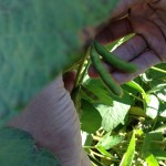 Soybean Pods 4