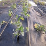 Tomatoes Coming Up 1
