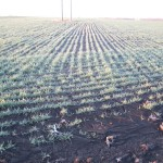 Wheat Coming Up 2