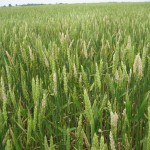 Wheat Disease Update