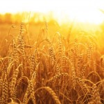 USDA Cuts Wheat Crop