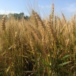 Wheat Production Down