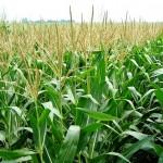 Corn Crop Best in Years