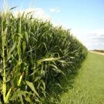 Big Corn Crop