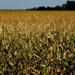 Corn Crop Could Use Approaching Thunderstorms