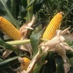 Corn Yield Hopes
