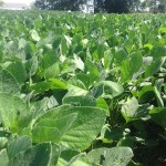 Double Crop Soybeans 2