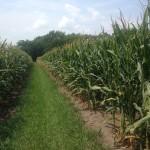 High Yield Corn 1